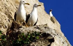 Seagulls (Tomas Pfeifer) Tags: italy seagulls birds animals seagull favignana