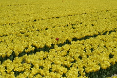 fields of yellow. (joyce_gosman) Tags: flowers holland color tulips bright outstanding