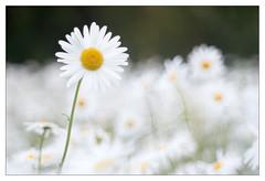You make me daisy (leo.roos) Tags: daisies lens prime m42 daisy fl marguerite asteraceae challenge lenses day150 margriet leucanthemum focallength oxeyedaisy primes lenzen dyxum darosa brandpuntsafstand a7s leoroos dayprime dayprime2016 meyertelemegor15055