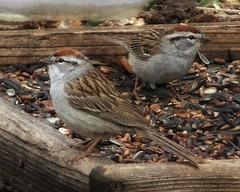 Chipping Sparrows (Flickr Goot) Tags: light bird birds colorado fuji wildlife may seed feeder sparrow springs finepix co handheld fujifilm available chipping 9600 2016 9100 fujifinepixs9100