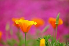 /Eschscholtzia californica (nobuflickr) Tags: flower nature japan botanical kyoto   the eschscholtziacalifornica garden    20160422dsc07778