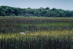 (David Theodor Thorsen) Tags: bird south low country southcarolina charleston carolina fujifilm marsh xpro1 vsco