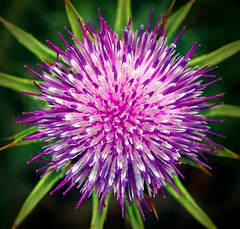 King Thistle. (god_save_the_green) Tags: plant macro green nature flora purple bokeh thistle violet vert raindrops environment gouttes chardon zoomup olympusepl1 may2016 mathildeaudiau