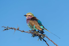 Lilac-breasted Roller (CMich5) Tags: africa travel bird birds fauna wildlife botswana lilacbreastedroller okavangodelta