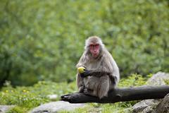 Affenberg Landskron (Gerald Ramsbacher) Tags: apple gum austria sterreich nikon bokeh krnten carinthia bubble nikkor 70200 apes apfel affen d800 villach affenberg makake makaken