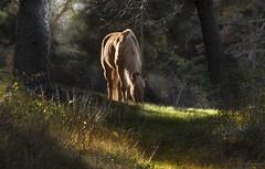 los colores del campo ... (Vctor.M.Chacn) Tags: paisajes caballo campo sombras fz1000 dmcfz1000 vctormchacn
