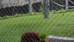 Orang noises (citizen for boysenberry jam) Tags: wild male animals zoo texas waco orangutan ape waza aza noises vocalizing cameronparkzoo