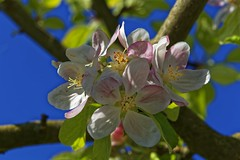 Fruit tree (wolf4max) Tags: flower home nature fruit garden blossom yellowflower lili fruittree yellowlily pinkblossom