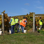Harvest, Pipers Brook Vineyard thumbnail