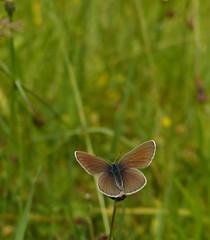 Rotlee-Bluling (w) [ Mazarine-blue ] [ ngsblvinge ] ( Polyommatus semiargus ) (ritschif) Tags: butterfly natur tier insekten schmetterlinge polyommatussemiargus rotkleebluling mazarineblue tagfalter blulinge dagfjrilar ngsblvinge