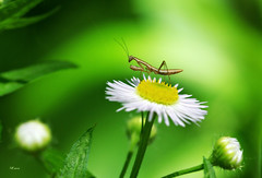 Tiny Mantis (MEaves) Tags: bug insect mantis predator flowers buds nature