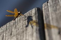 Cast a Giant Shadow (Chris Bainbridge1) Tags: dragonfly eastern amberwing perithemis tenera mountainlakesnewjersey