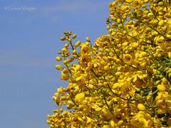 yellow world ( Graa Vargas ) Tags: flower yellow explore 369 graavargas 2016graavargasallrightsreserved jun12016 414080180616