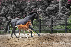 Black Beauty and foal Jack (halfpennysanchez) Tags: bw animal mare outdoor working together round blackhorse foal galloping