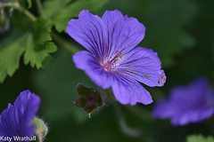 Purple study (Katy Wrathall) Tags: 2016 30dayswild eastriding eastyorkshire england june summer garden mallow