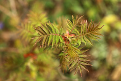 Staghorn Sumac (gripspix (OFF)) Tags: 20160404 archiv sumac essigbaum rhus leaves bltter frisach newborn