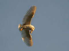Barn Owl Up Above (bredma) Tags: uk wild nature barn mouse wildlife flight olympus owl british prey vole barnowl bif birdinflight em1 m43 4015028