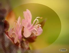 DSC01589 (Quatrivium) Tags: flor albahaca macro flower garden