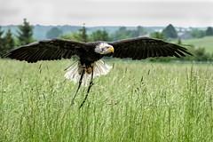 Weikopfseeadler (Godwi_) Tags: animals tiere fly eagle adler bald eagles fliegen weiskopfseeadler