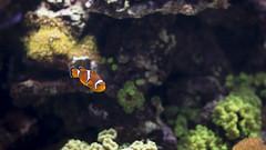 Clownfish (rafa.esteve) Tags: espaa fish valencia aquarium spain clownfish 16x9 espaa