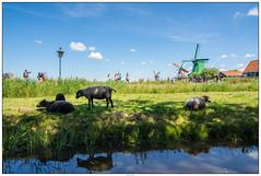 Zaanse Schans reflectie (voorhammr) Tags: gras zon zaanseschans zaandam molens 2016 vakwerk huisjes blauwelucht jolandakraus