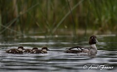 Mama Goldeneye with her ducklings (Anne Marie Fraser) Tags: lake nature water duck wildlife ducklings goldeneye