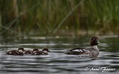 Mama Goldeneye with her ducklings (Anne Marie Fraser) Tags: lake nature water duck wildlife ducklings goldeneye