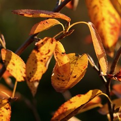 Orange autumn leaves (fabiankoppers) Tags: park autumn trees light sunset red orange plant flower macro tree fall leave texture nature yellow contrast garden leaf bush focus afternoon close bright wildlife vegetable blade depth