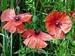 2016-07-07 aquarelle poppy field 7 (april-mo) Tags: poppy poppyfield redpoppy coquelicot redflower art flower fleurs field wheatfield champdebl