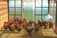 Chicken herd (allejandrine) Tags: chicken birds animal country herd