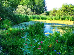 Wildflowers blooming around the slough and the lake (+10) (peggyhr) Tags: pink blue red orange lake canada green yellow alberta poppies wildflowers slough flax peggyhr bluebirdestates 30faves~