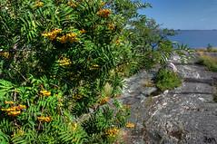 IMG_9009 - Kopie (2)And2more_tonemapped-1 (Andre56154) Tags: sky lake tree water see rocks wasser sweden schweden pflanze himmel rowan ufer beeren baum schren felsen vogelbeere
