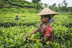 Srimangal-6172 (BohemianTraveler) Tags: asia tea bangladesh srimangal srimongol sreemangal