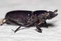 Escarabajo (Gayoausius) Tags: macro mxico escarabajo mexicano insecto macrofotografa beettle 7dwf