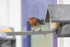roodborst / robin (willemsknol) Tags: winter robin birds vogels assen roodborst willemsknol