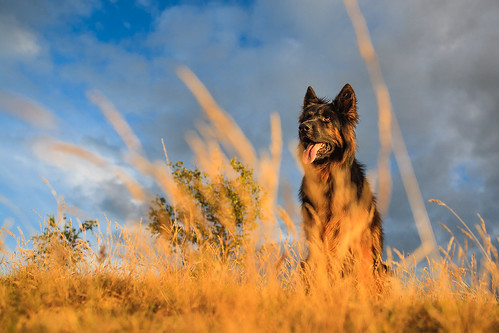 """Old German Shepherd • <a style=""""font-size:0.8em;"""" href=""""http://www.flickr.com/photos/56274740@N08/15284696893/"""" target=""""_blank"""">View on Flickr</a>"""