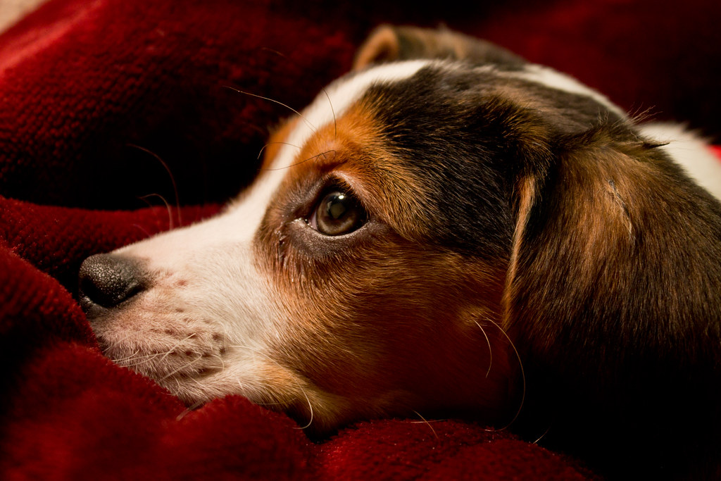 The World S Best Photos Of Beagle And Whiskers Flickr