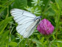Black-veined White. Aporia crataegi. Male (gailhampshire) Tags: white male butterflies slovenia aporia crataegi blackveined taxonomy:binomial=aporiacrataegi