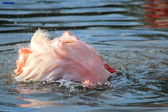 003 flamingo washing (modekopp i am some time on photo hunting) Tags: untitled pikture foto amazingpictures amazingshots photographer flamingo wasser water bird vogel fotografie photographs photography photo amazinganimal amazinganimals colorfulnature canoneos70d 70danimals tierparkaachen schnappschuss shot animalphotograph tierfotografie amazinganimalphoto