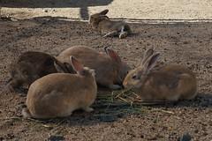 Japanese Rabbit Island (Takashi K. A) Tags: sea rabbit japan island hotel paradise books tourists resort hiroshima cnn magazines lovely foreign popular 700 inland guardian takehara seto okunoshima kyukamura usagishima