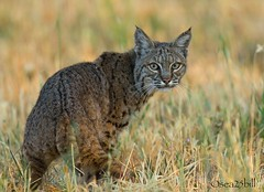 BOBCAT (sea25bill) Tags: california morning sun male nature animal cat feline wildlife bobcat carnivore lynxrufus