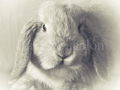 Rabbit (David Cucaln) Tags: blackandwhite pet rabbit blancoynegro animal soft conejo mascota suave x20 2013 cucalon davidcucalon fujifilmx20