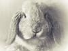Rabbit (David Cucalón) Tags: blackandwhite pet rabbit blancoynegro animal soft conejo mascota suave x20 2013 cucalon davidcucalon fujifilmx20