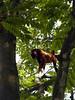 Mono Aullador (Alveart) Tags: colombia cordoba latinoamerica suramerica sinu monteria islafuerte alveart luisalveart rondadelsinuislafuerte