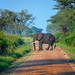 Elephant Crossing, Uganda