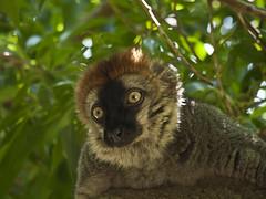 Lemur frentirrojo. (cachanico) Tags: valencia maki olympus lemur e30 lemure comunidadvalenciana 40150mm zd40150 bioparc lmure cachanico