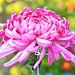 Purple Chrysanthemum in The Rain / 雨に打たれる大菊(厚物)