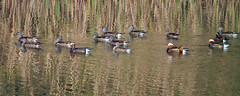 DSC_4656- Mandarin Duck (tune505) Tags: bird nature wildlife mandarinduck yosu dolsan