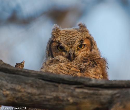Photo - Alexa Boyes - Sunshine Owlet  - 2nd Place - Flora & Fauna