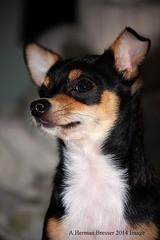 King of my Domain (Herman Bresser:) Tags: portrait dog pet chihuahua posing ears domestic smalldog single herman eos40d singledog